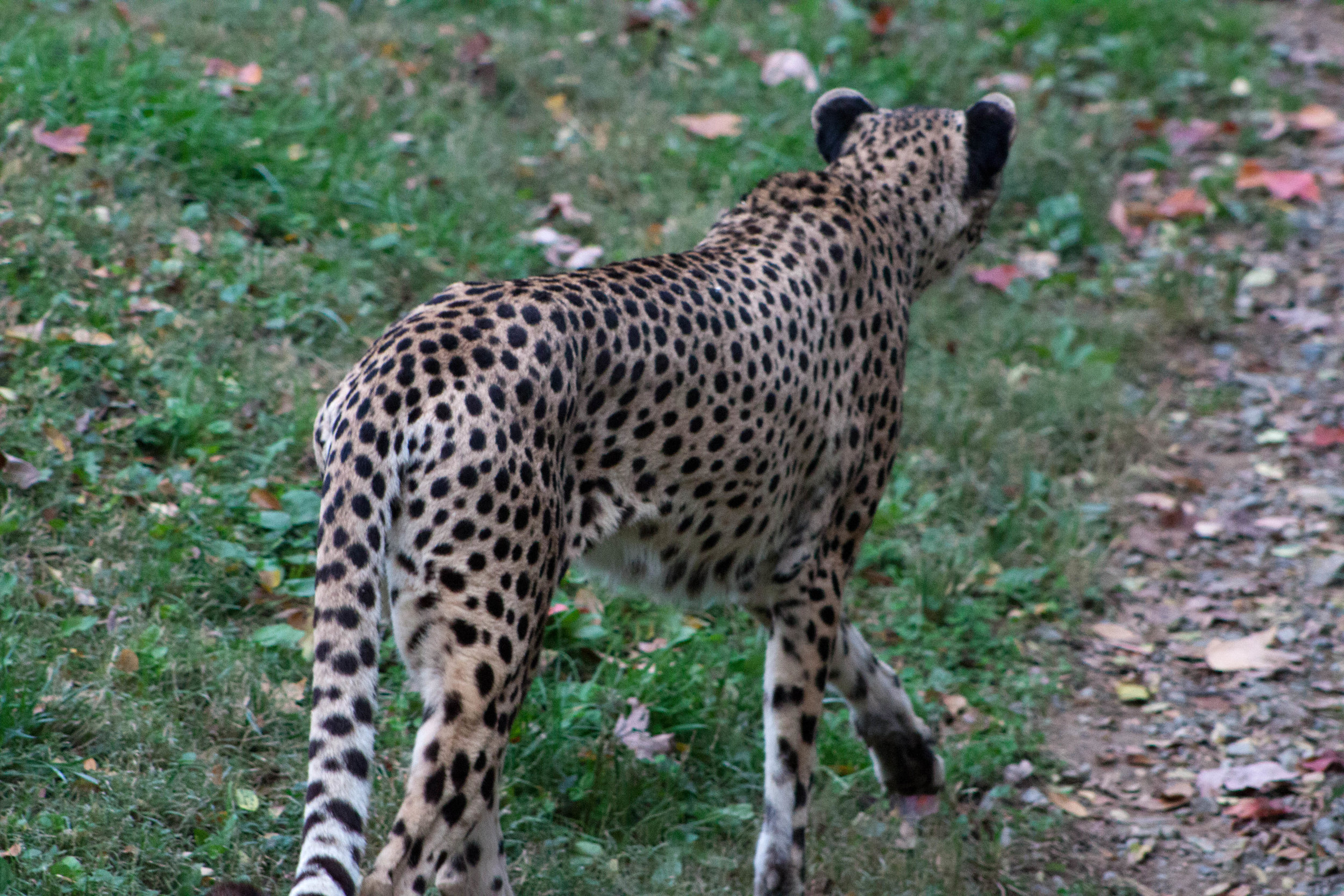 A cheetah stalks through its enclosure at  the Smithsonian's National Zoo  in Washington, D.C., October 2012.