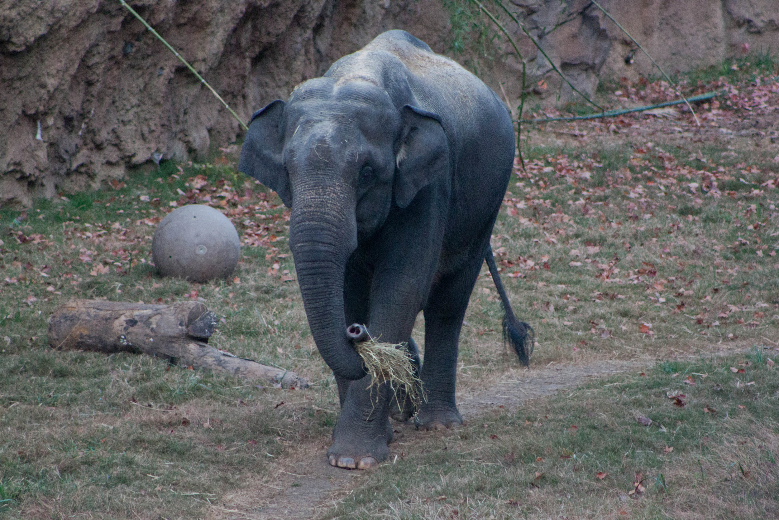 An elephant prepares to eat a snack at  the Smithsonian's National Zoo  in Washington, D.C., October 2012.