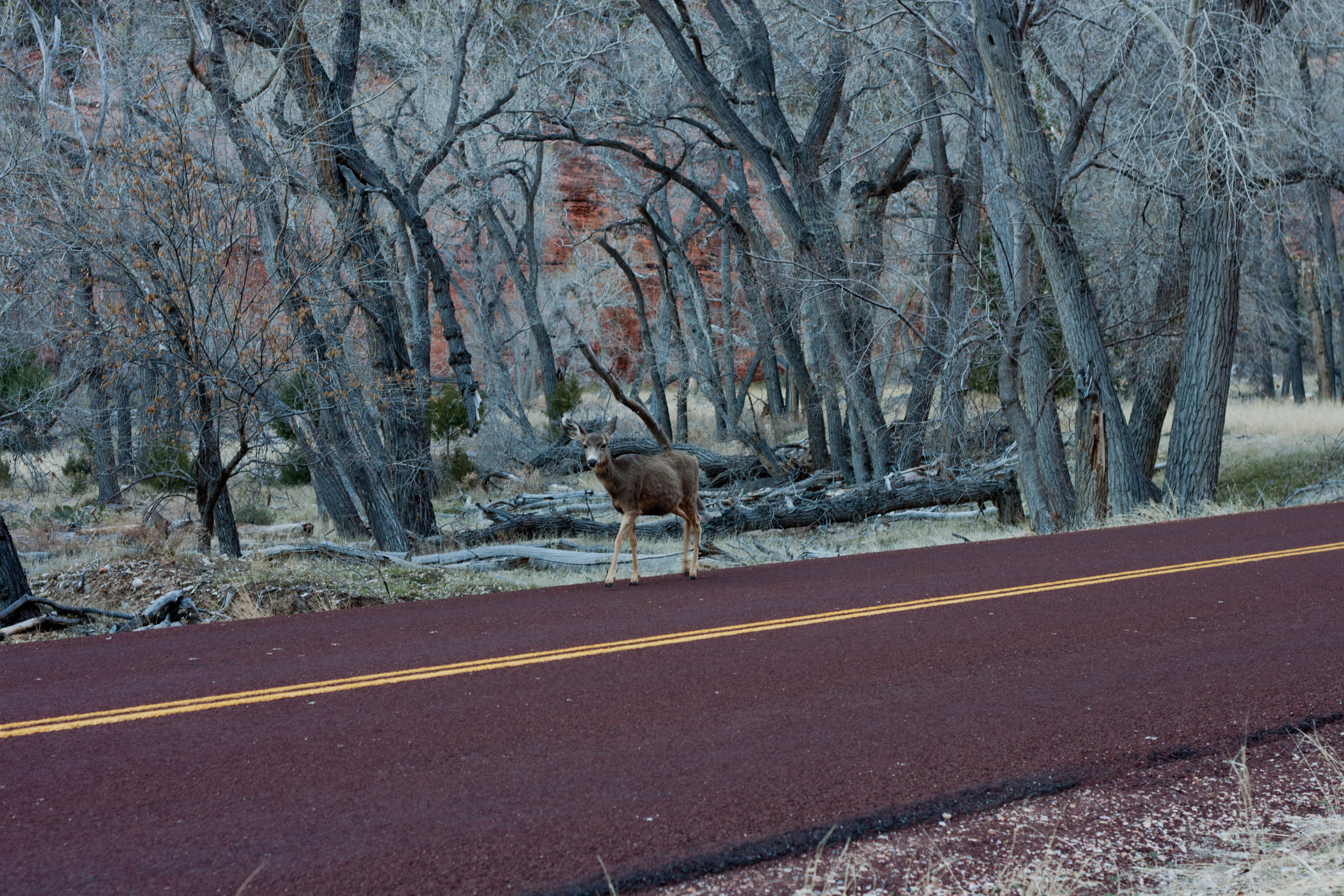 A mule deer prepares to cross a street in  Zion National Park , 2015.