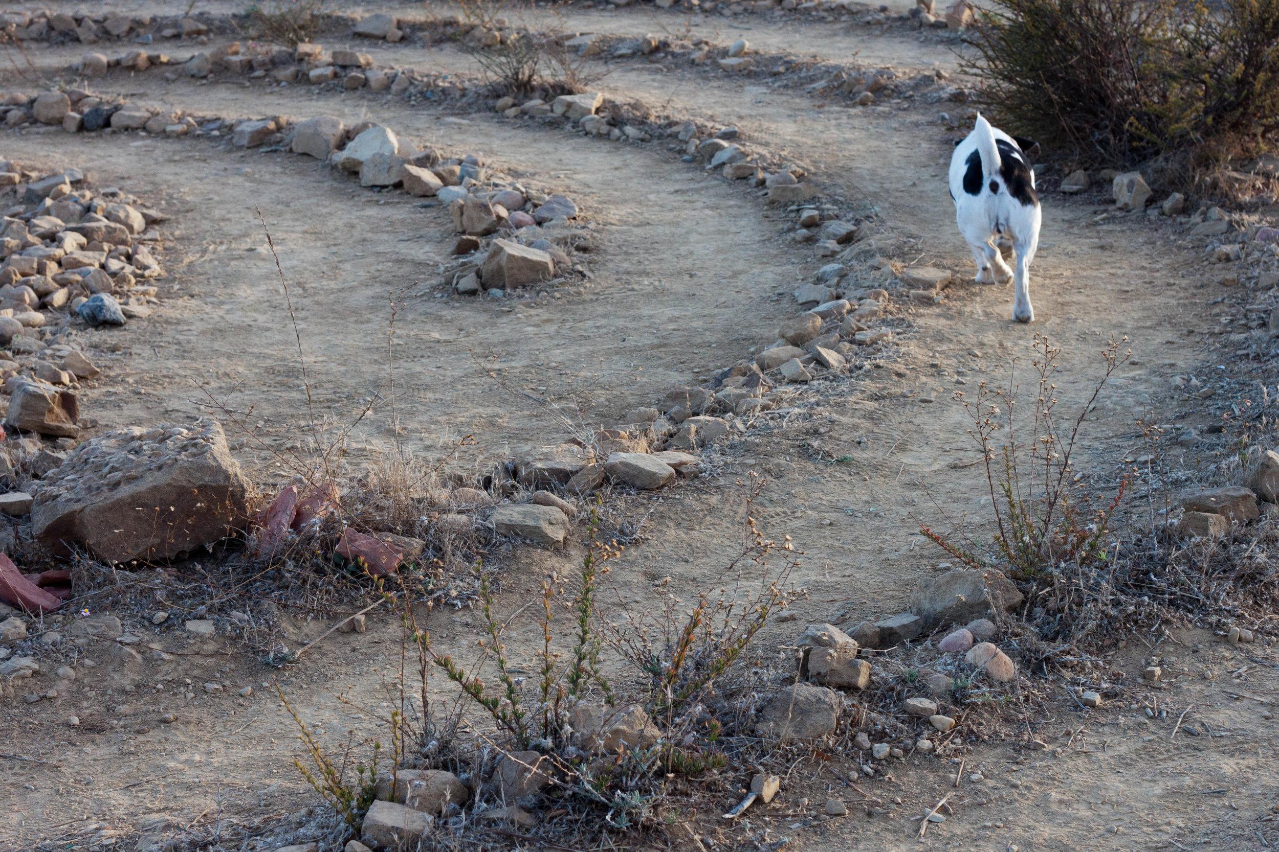 An energetic dog runs  the labyrinth at Tuna Park  near Malibu, California, 2017.