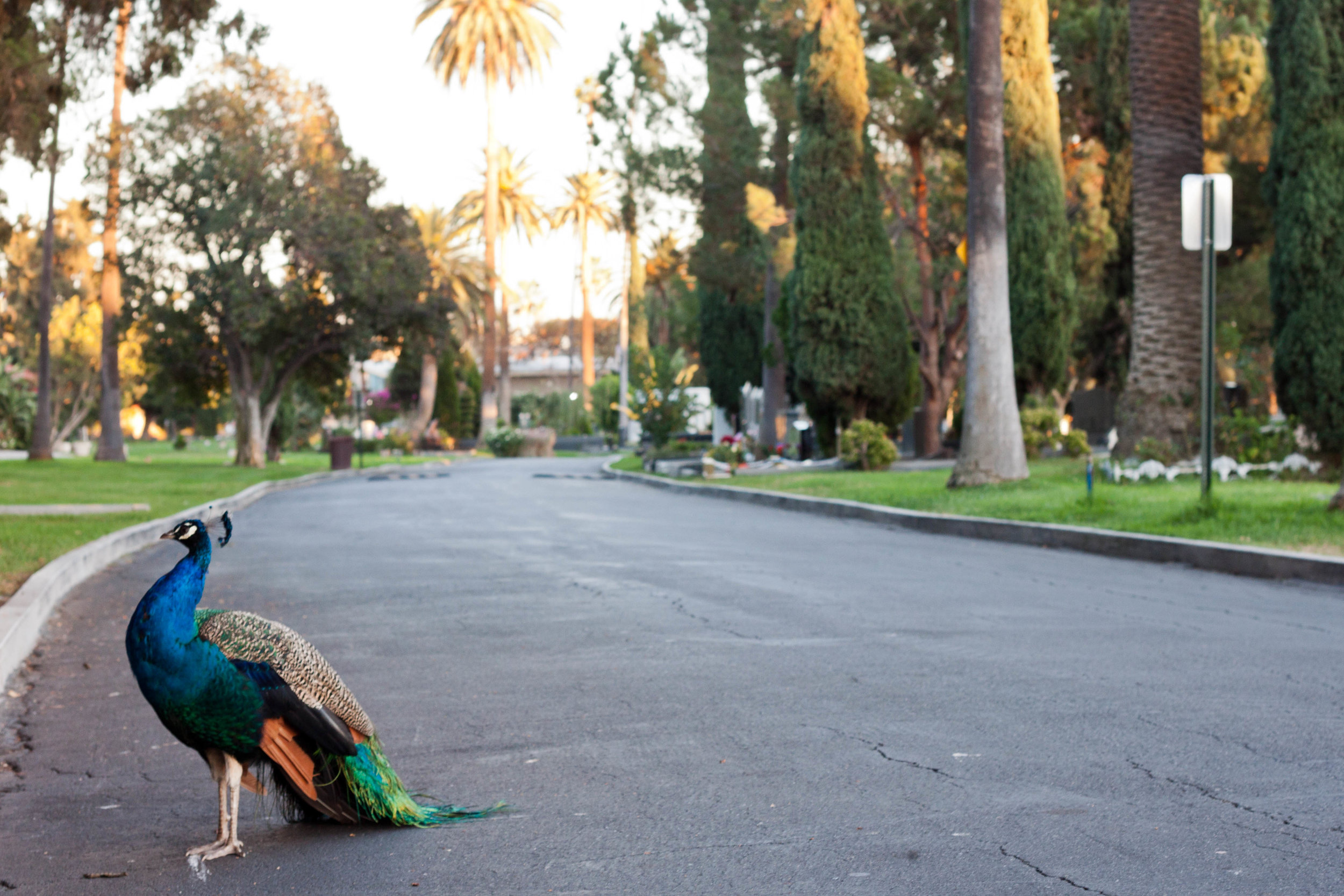 A peacock struts through  Hollywood Forever Cemetery  in Los Angeles, 2017.
