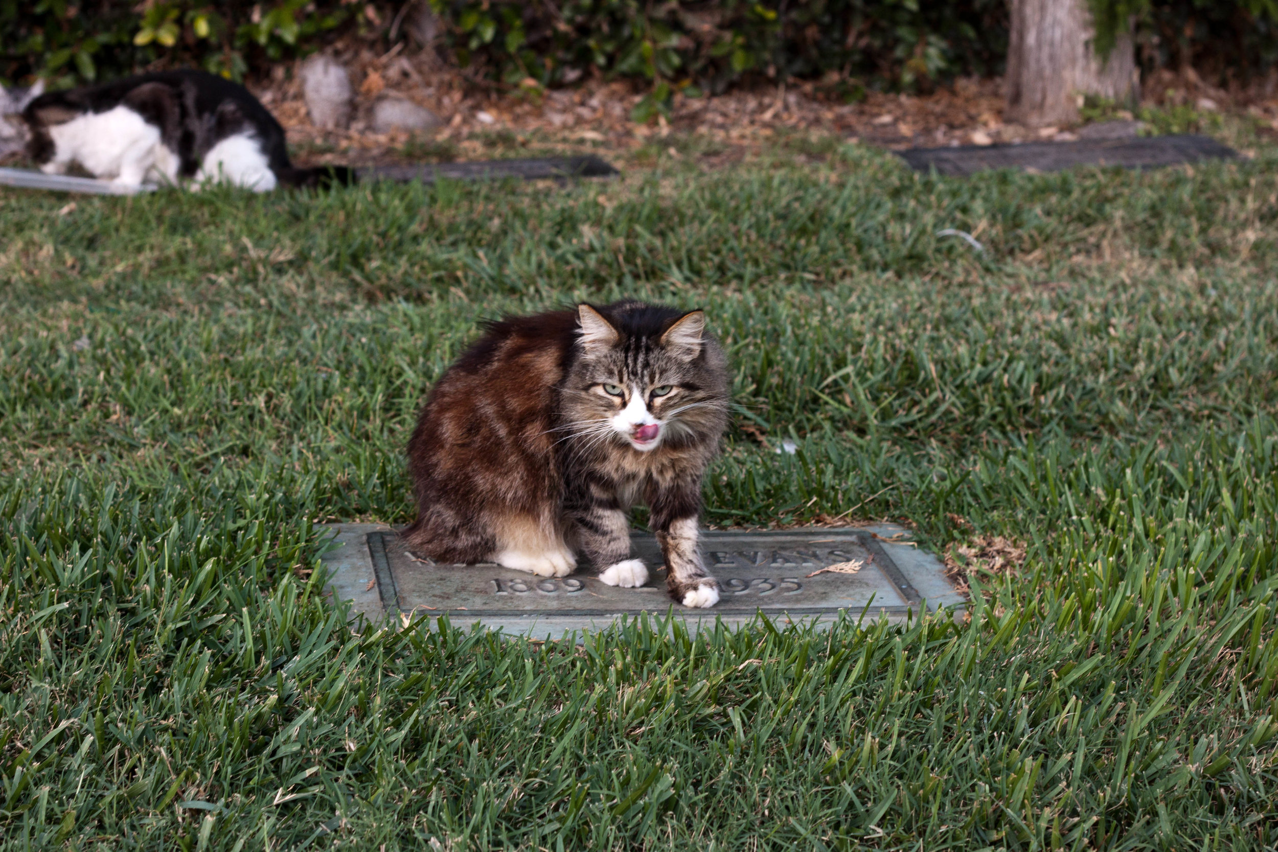 A feral cat licks its lips after enjoying a meal at  Hollywood Forever Cemetery  in Los Angeles, 2017.