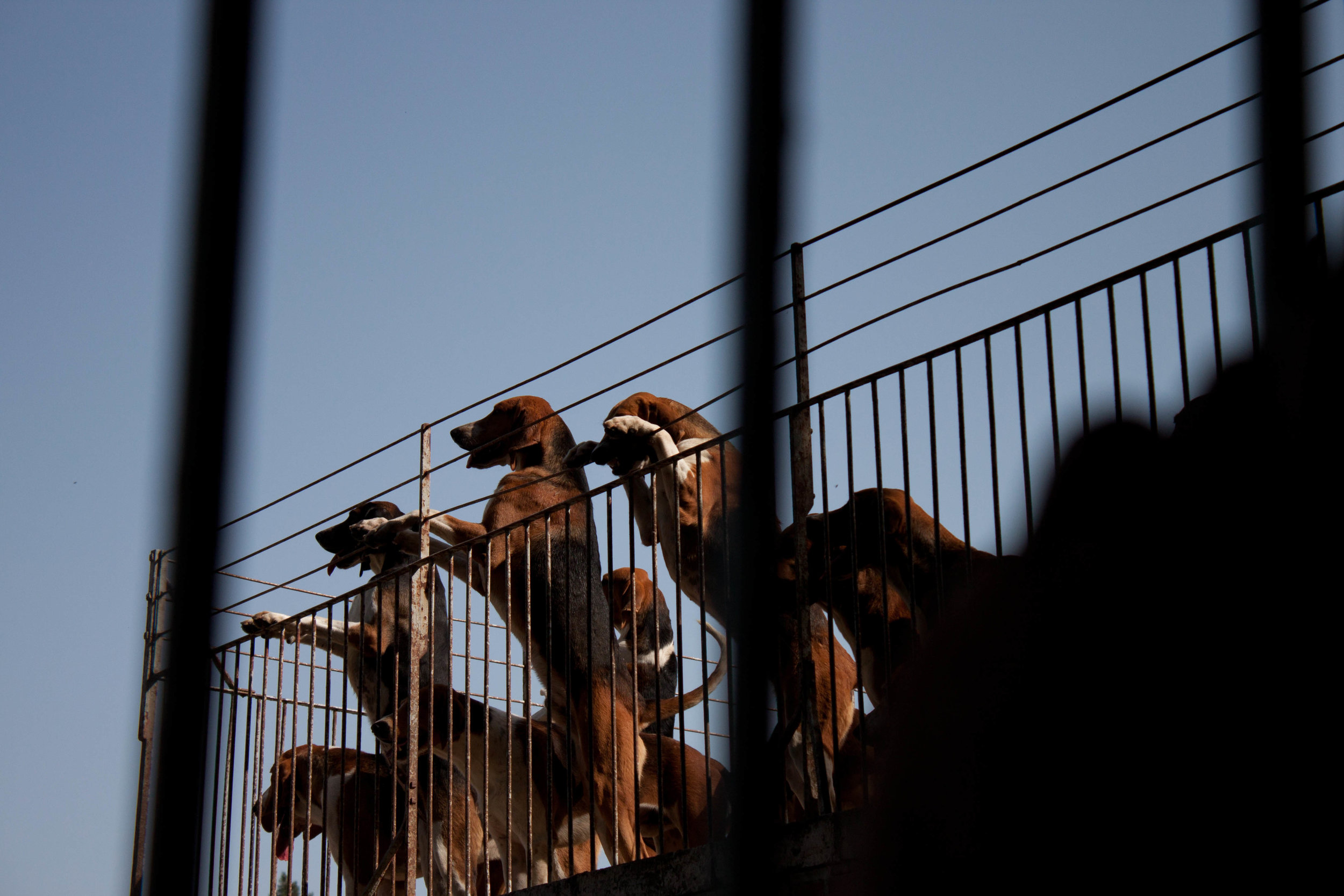 Hunting hounds stand on their hind legs as they await feeding at Chateau de Cheverny in Cheverny, France, August 2012.