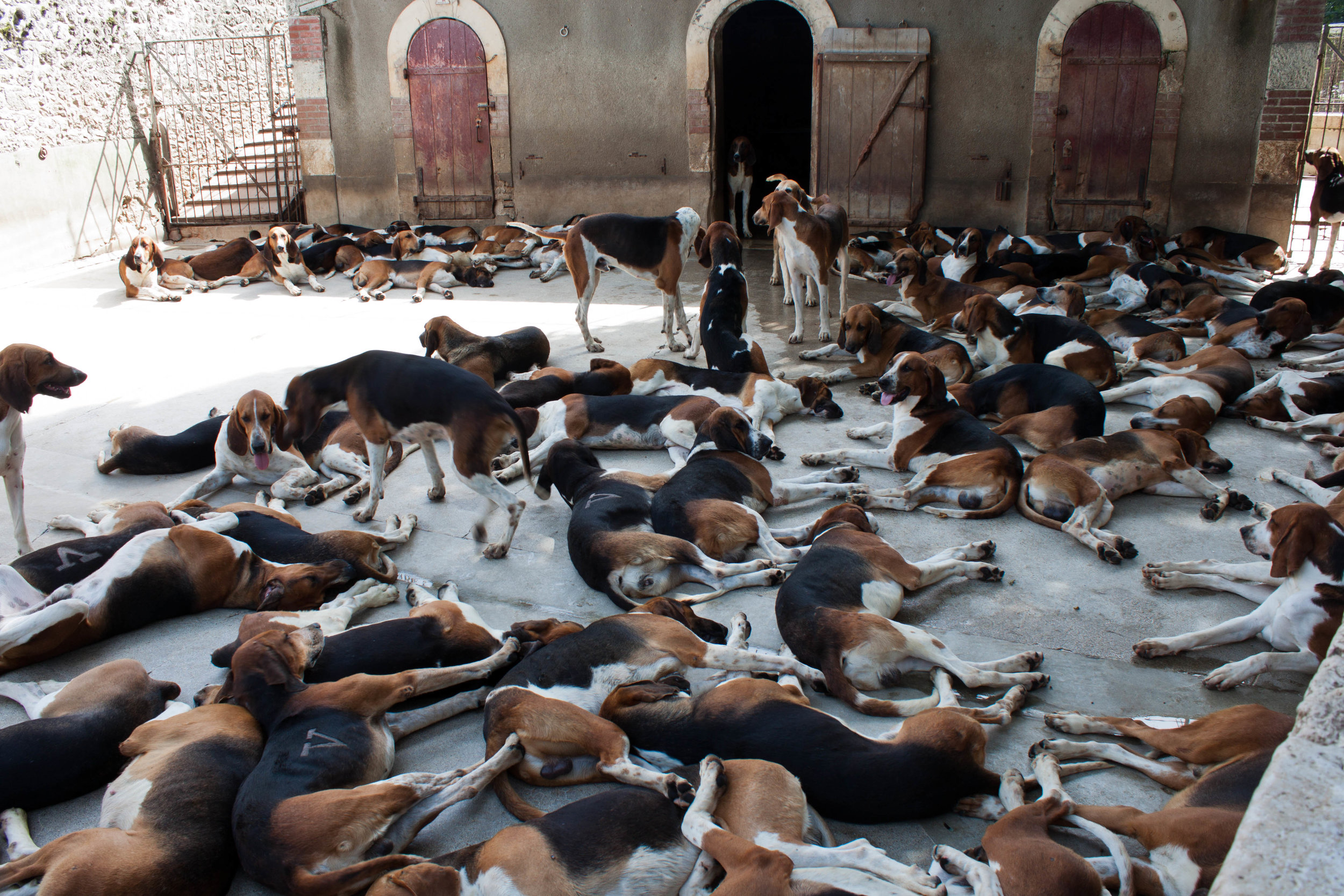 Hunting hounds rest in their kennels at Chateau de Cheverny in Cheverny, France, August 2012.