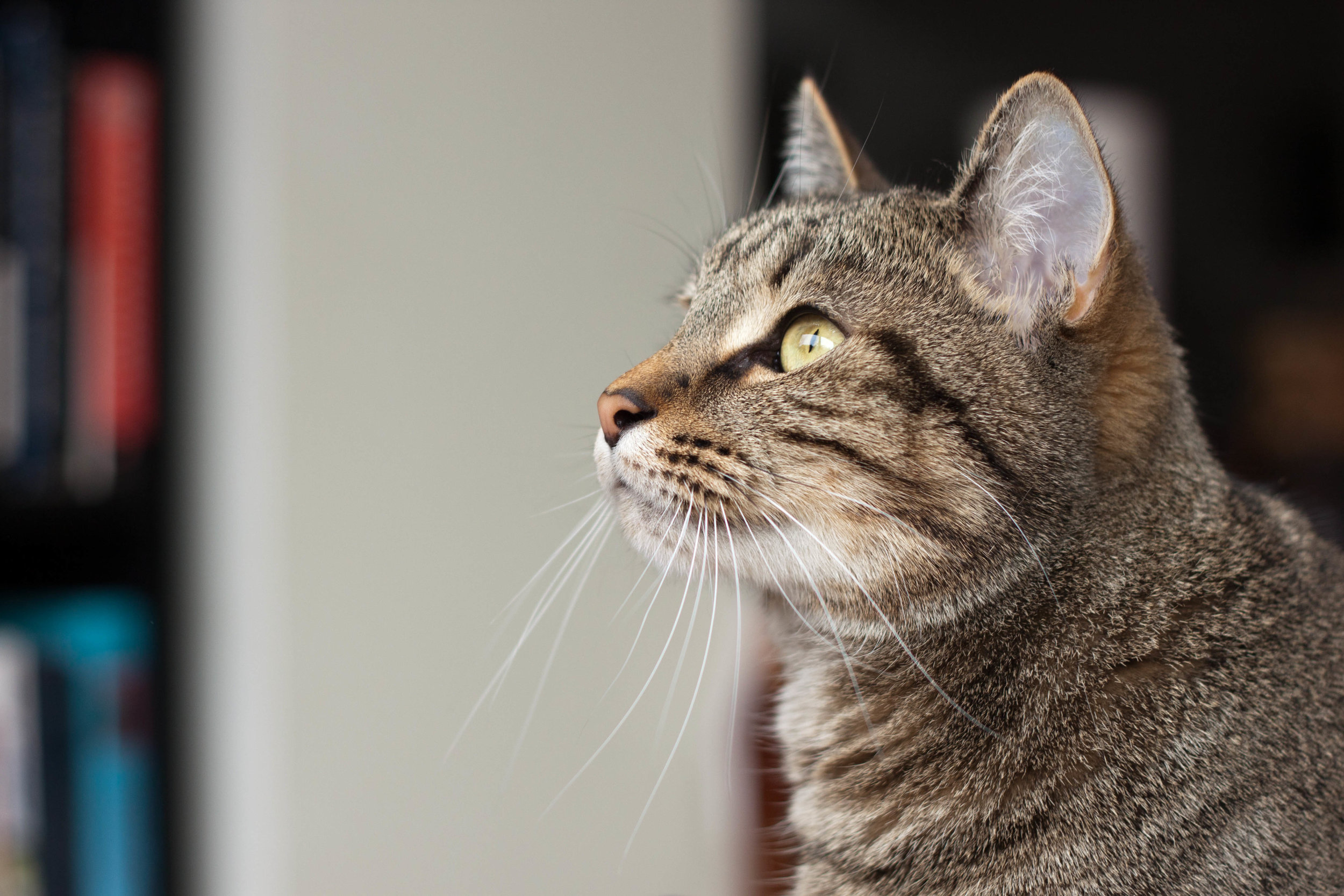 My cat, Chiyo, looks out the window of our home in Rhode Island, 2014.