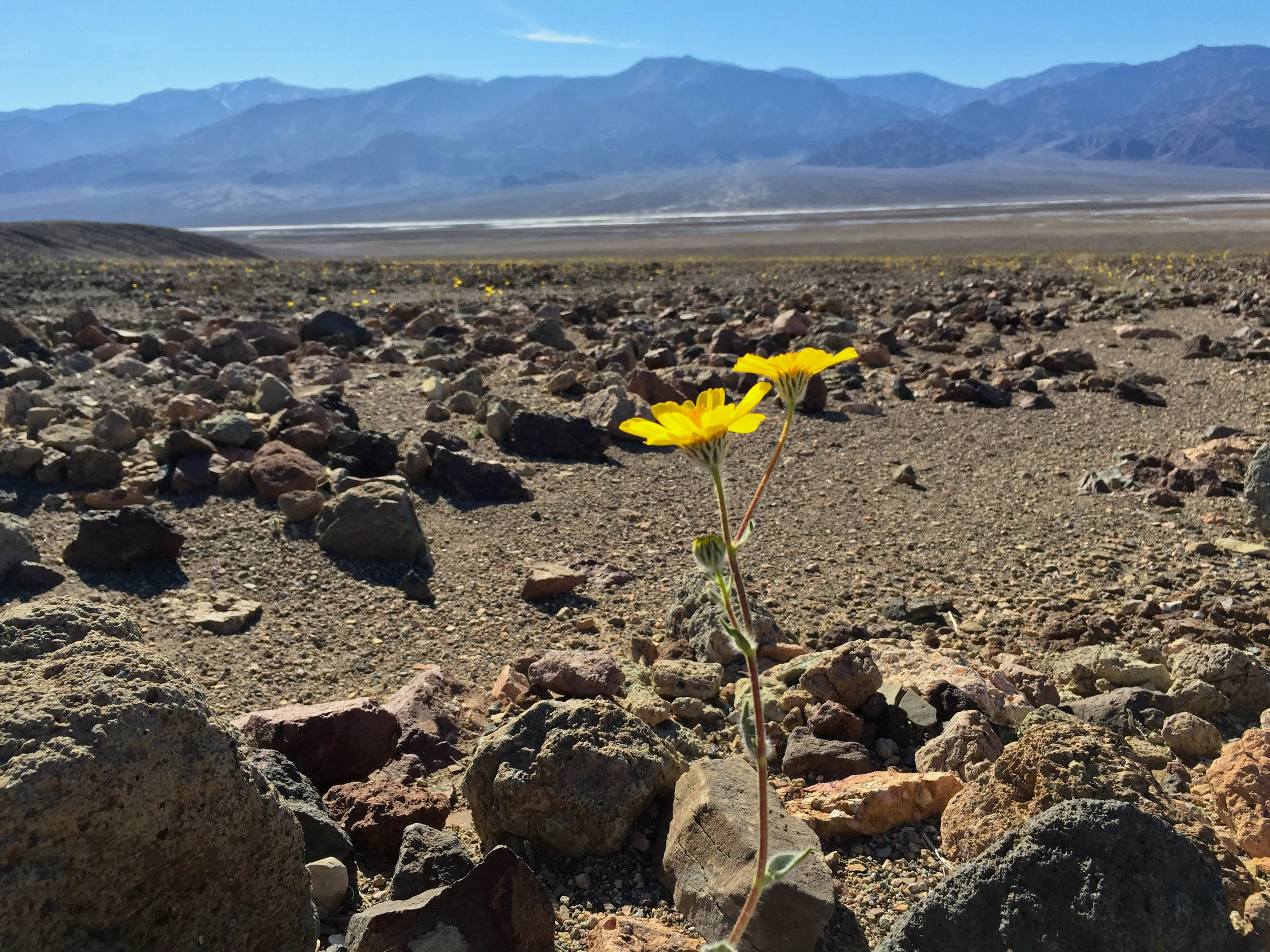 A wildflower spotted in Death Valley National Park during the superbloom of 2016.