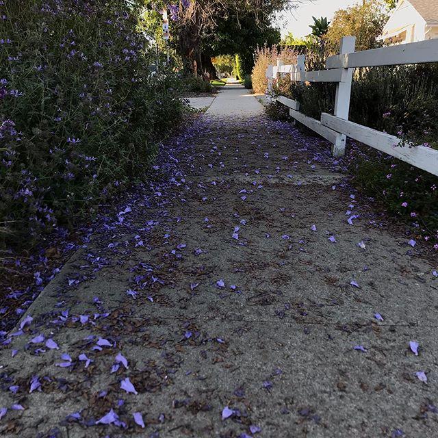 In Los Angeles, spring blooms in lavender 💜 . . . . . . . #jacaranda #losangeles #studiocity #spring #summer #nature #purple #lavender