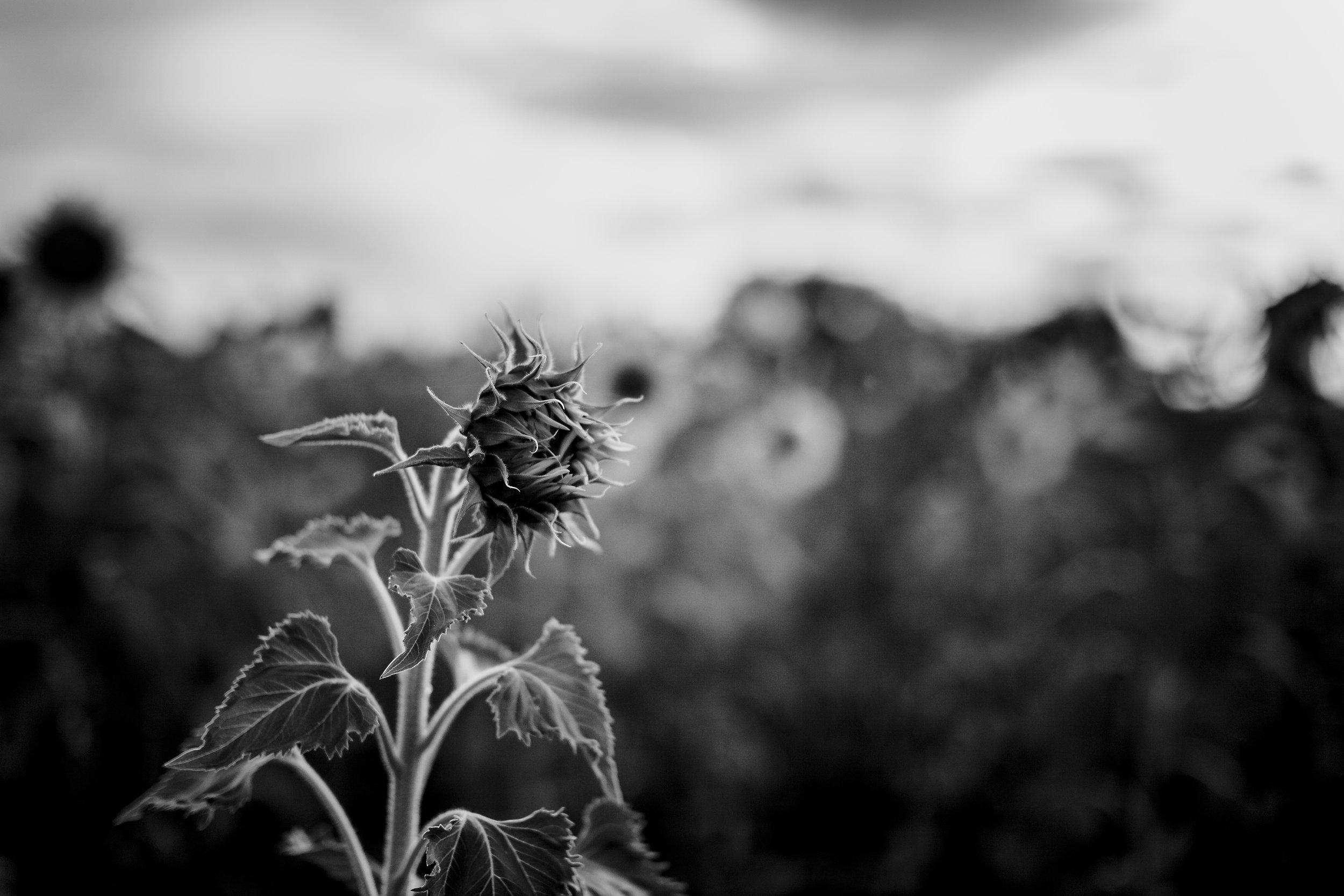 LP_AstheSunflowerBlooms.jpg