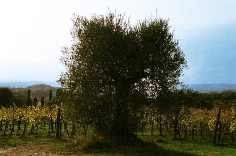 pacina_olive_trees.jpg