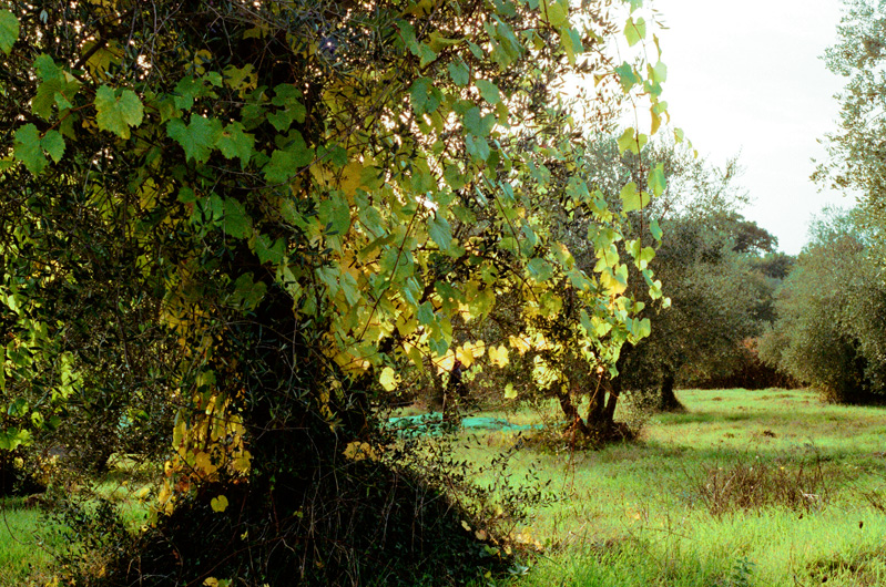 pacina_olive_trees_2.jpg