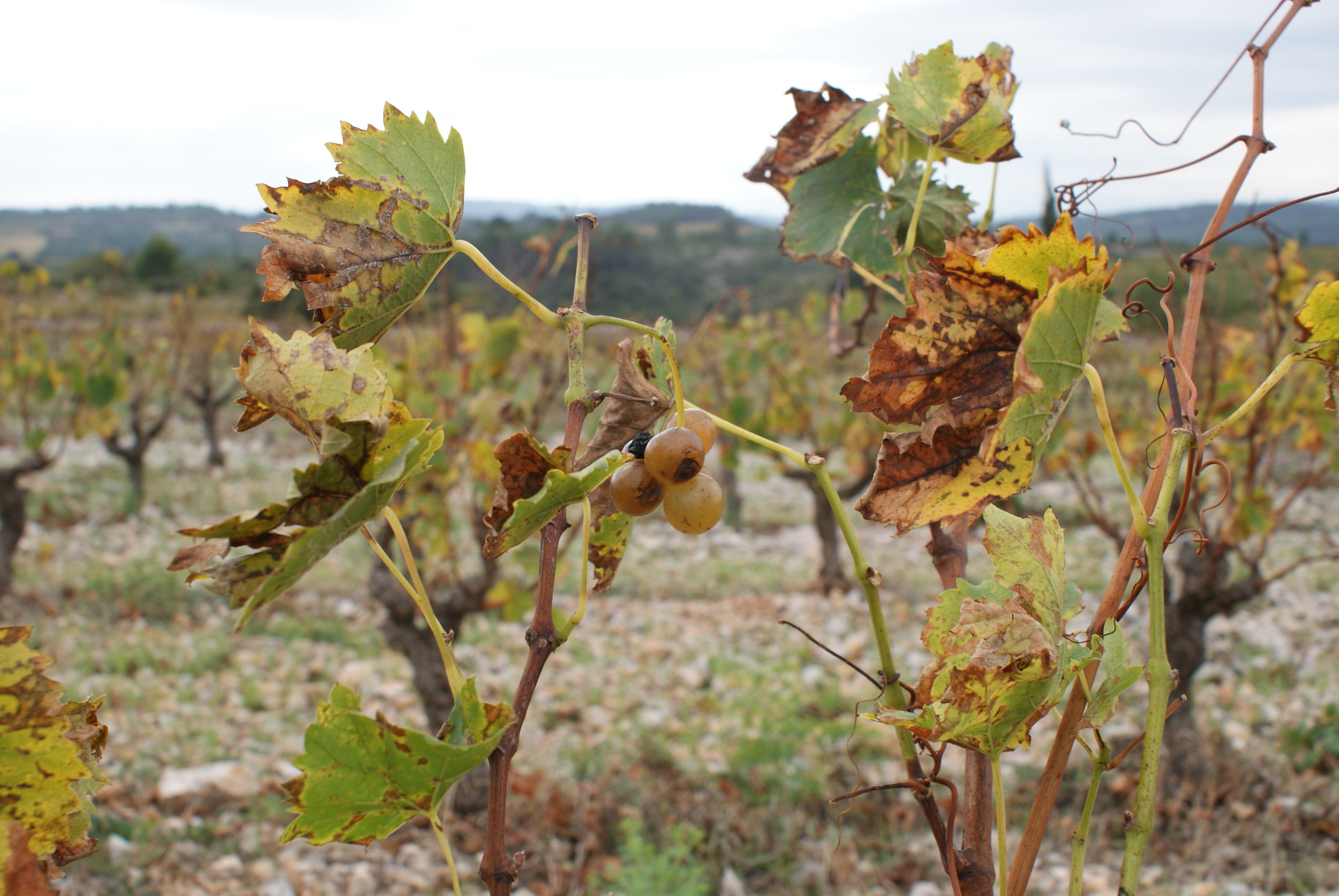 Languedoc52.JPG