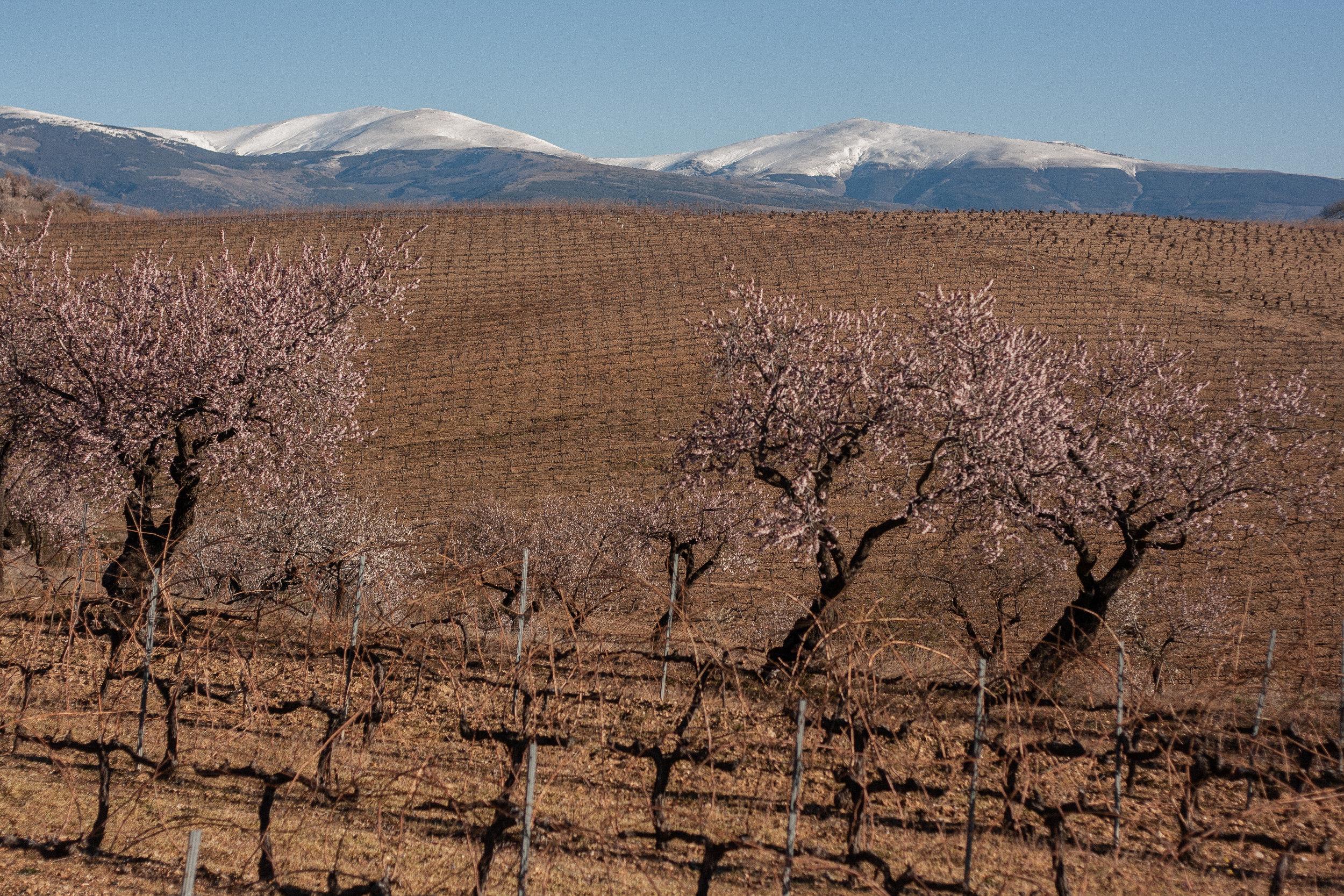barranco-almondtrees-vines.jpg