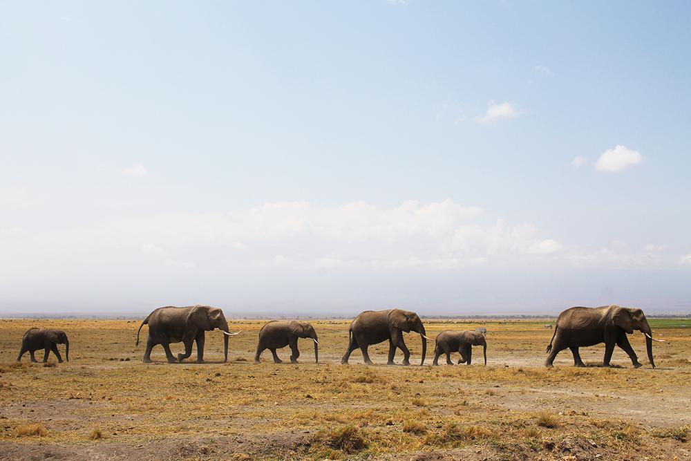 SAFARI I AMBOSELI: I dette området finnes det mange elefanter. Disse var på vandring mot sumpen for å drikke vann. Foto: Tenk Koffert