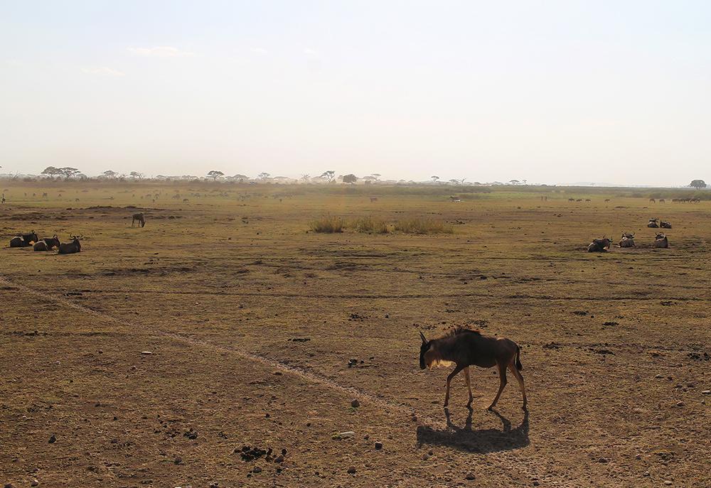 GNU PÅ SAFARI: Vi friket ut og tok tusen bilder første gang vi så en gnu. Så innså vi hvor utrolig mye gnu som finnes, så etterhvert ble vi helt blasert på det. 😄 Foto: Tenk Koffert
