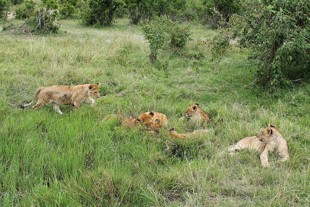LØVEUNGER: I Masai Mara var vi så heldige å møte på en løvemamma med hele elleve løvebarn - et stort øyeblikk for oss. Foto: Tenk Koffert
