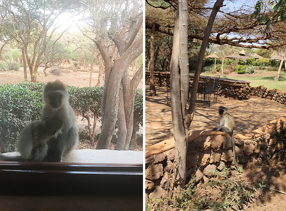 VILL START PÅ DAGEN: Jeg ble temmelig sjokkert den første morgenen jeg våknet i Kenya, da jeg så at vi hadde en apekatt i vinduskarmen som satt og diet barnet sitt. Smelt! Dessverre ble bildet dårlig, for jeg tok det med mobilen i full fart, livredd for å skremme dem vekk. Foto: Tenk Koffert