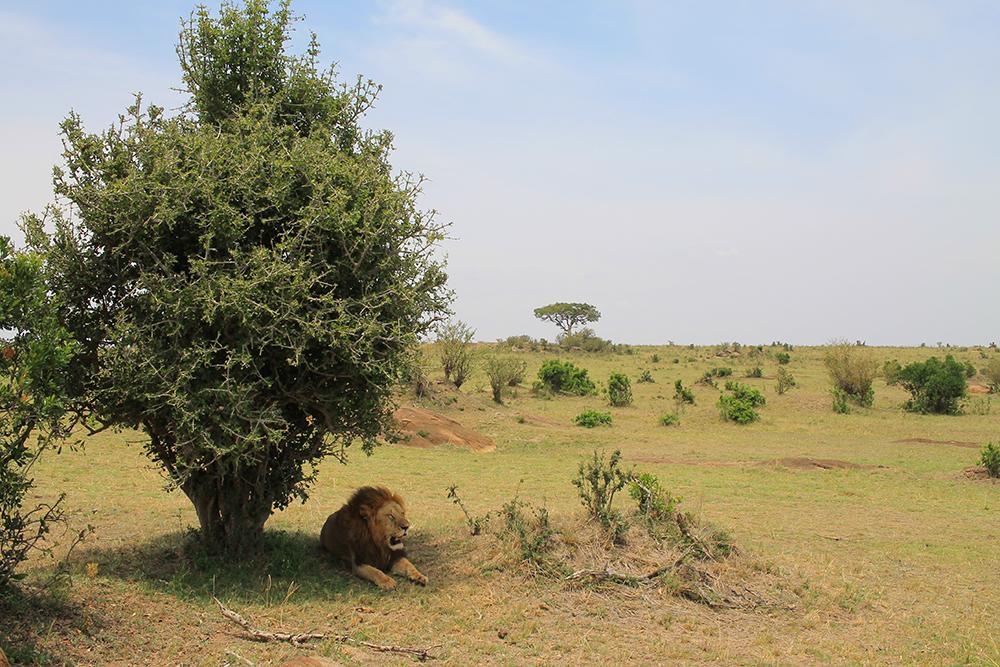 JUNGELENS KONGE: Løven er en av de fem store. Foto: Tenk Koffert