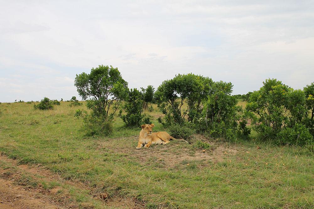 SAFARI I KENYA: Denne vakre løvinnen så vi i nasjonalparken Masai Mara. Foto: Tenk Koffert
