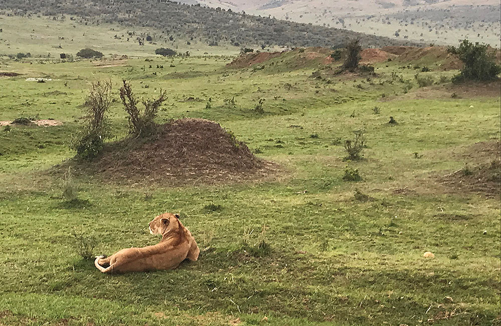 LØVER I MASAI MARA: Masai Mara er den naturparken som har flest løver. Foto: Tenk Koffert