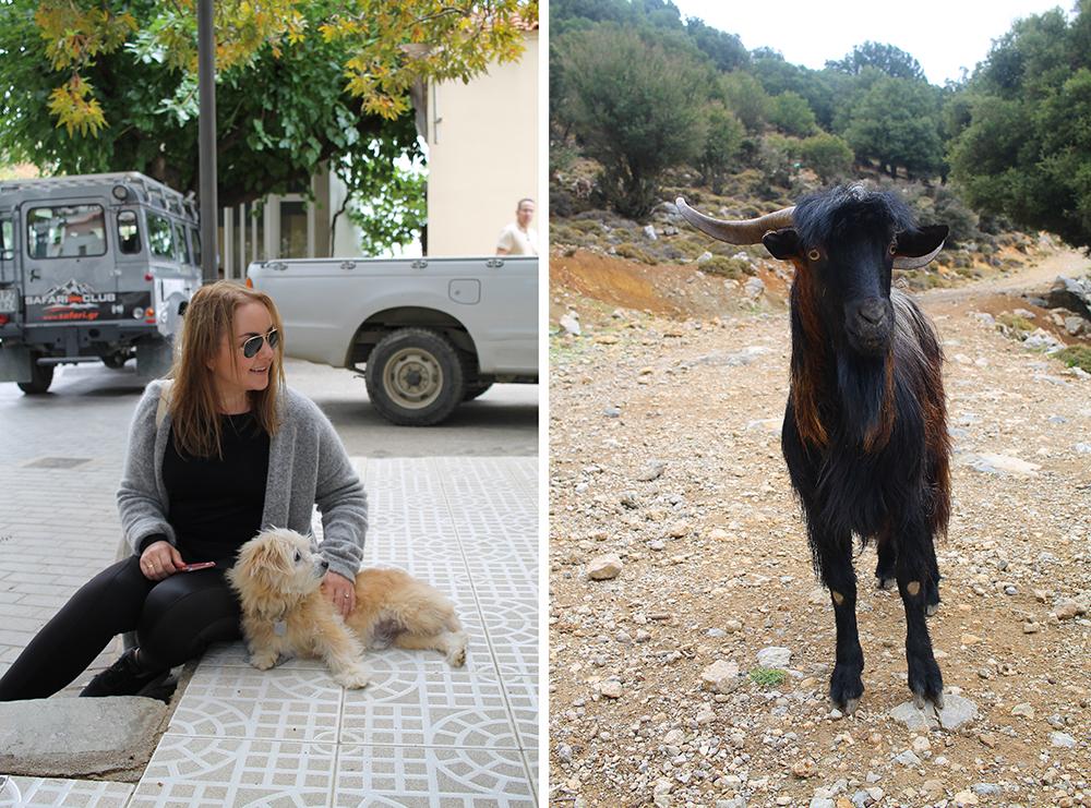 JEEP SAFARI PÅ KRETA: For meg som er glad i dyr, var en safaritur opp i fjellene helt glimrende. Møtte både hund og geit! 😍 Foto: Agneta Soleim og Tenk Koffert