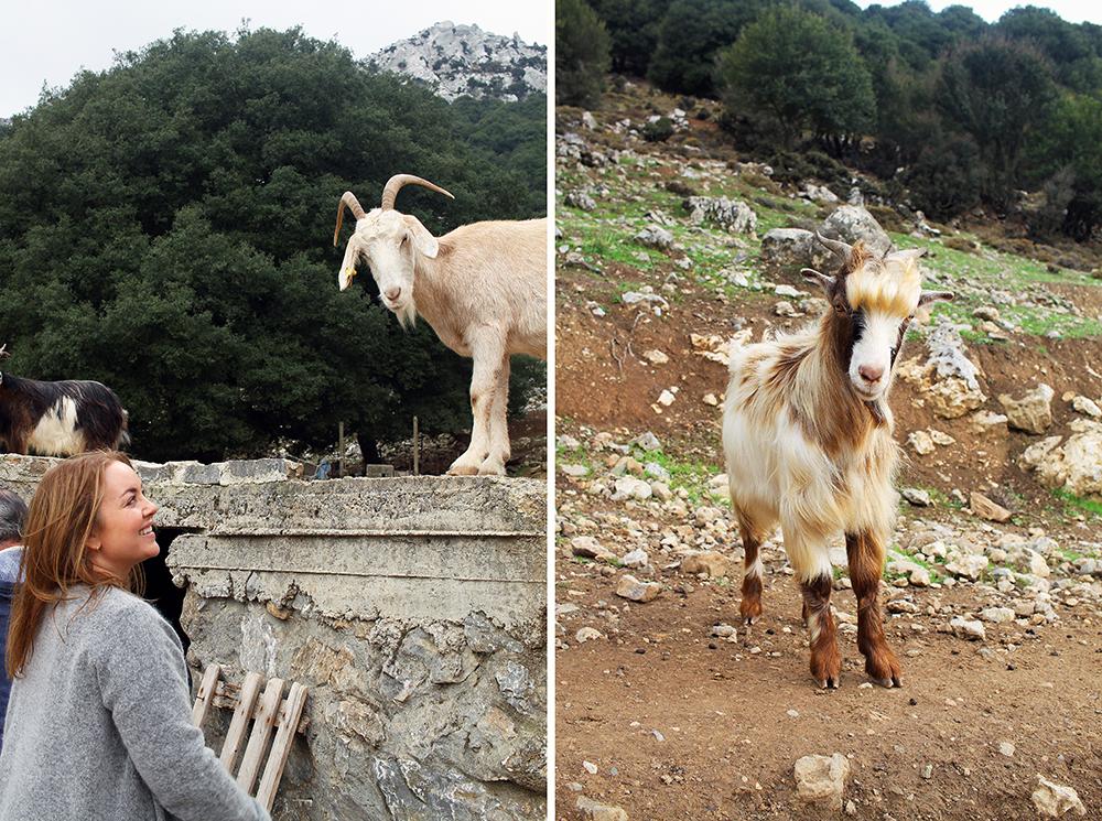 JEEP SAFARI PÅ KRETA: Gøy å hilse på geitene! 😍 Foto: Agneta Soleim og Tenk Koffert