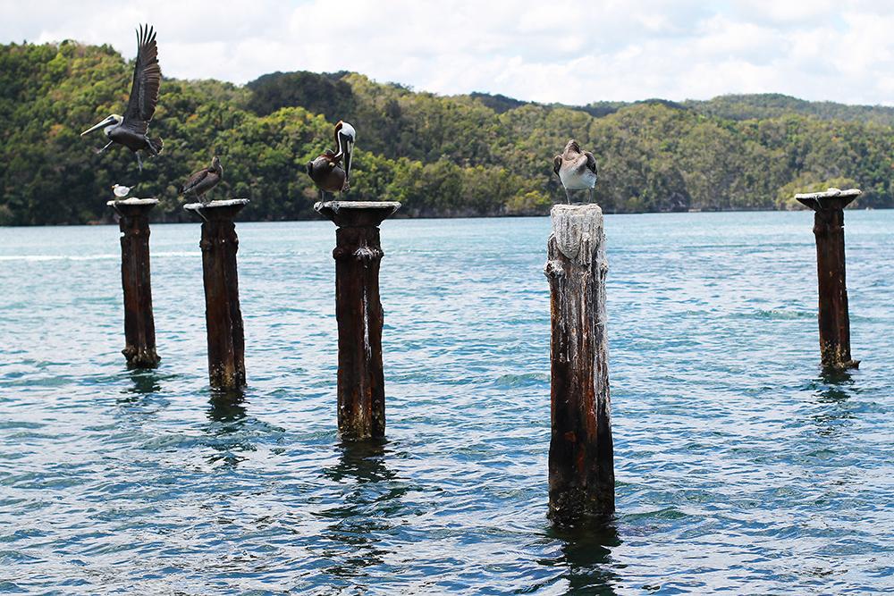PELIKANER I DEN DOMINIKANSKE REPUBLIKK: Da jeg var på båttur i Samana så jeg mange gøyale fugler, blant annet store pelikaner. 😍 Foto: Tenk Koffert