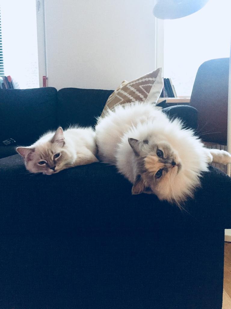 Är kattvakt åt min bror och brorsfrus söta ragdolls, och det är minsann allt annat än tråkigt!