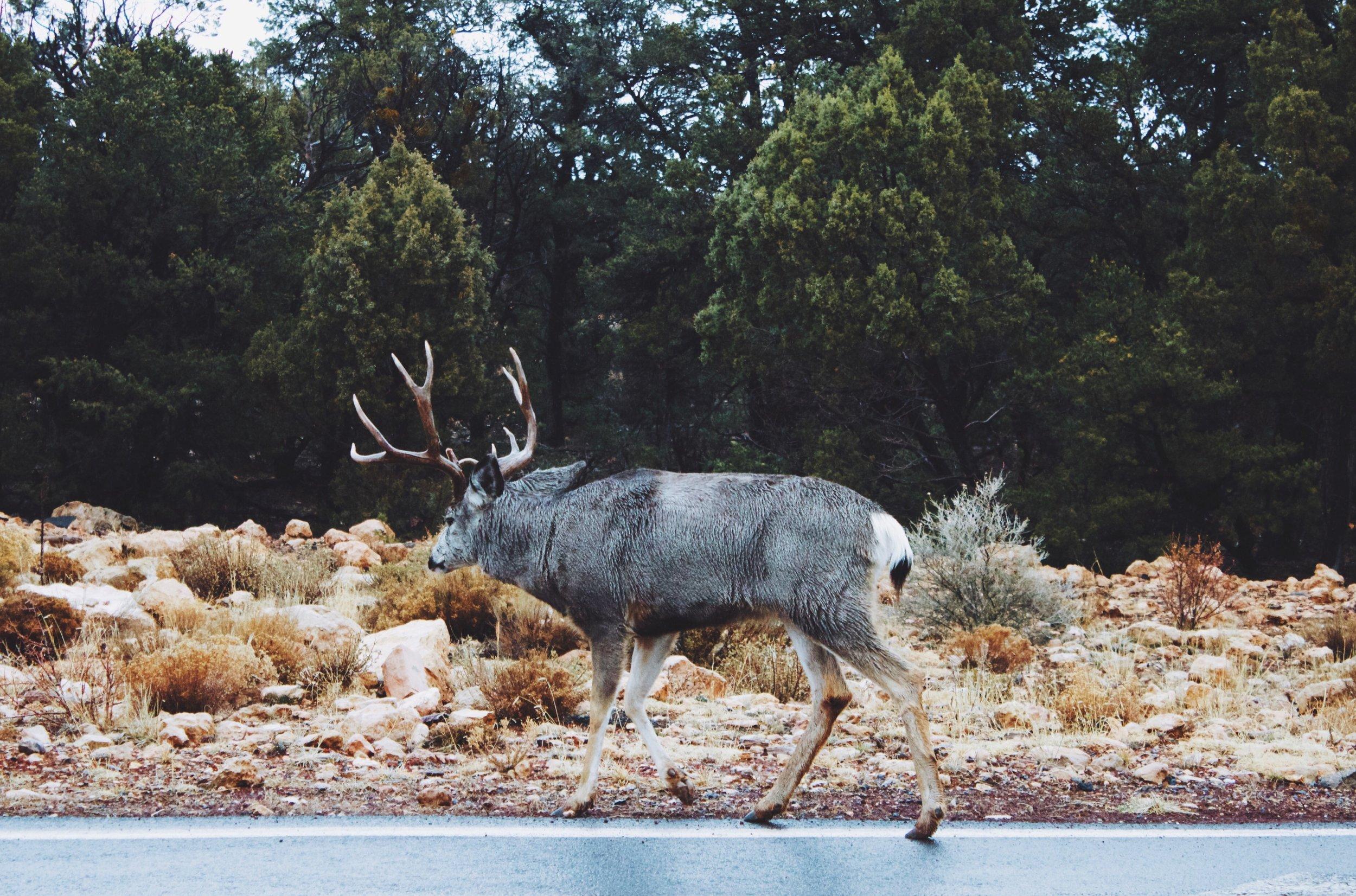 Mule Deer - Grand Canyon.jpeg