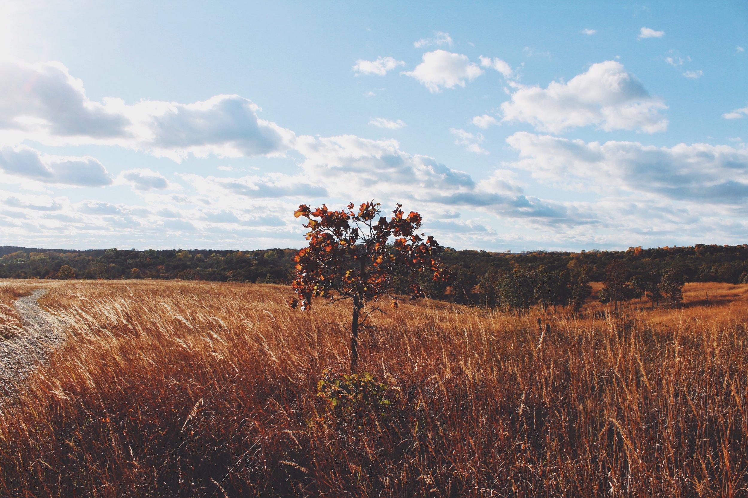 Tree In Field.jpeg