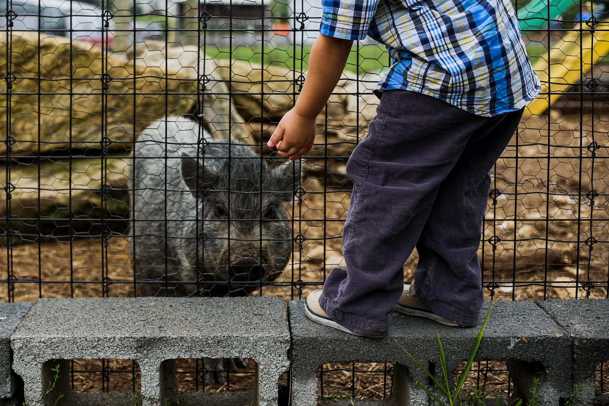 Boy_Pig_Grims_Orchard.jpg