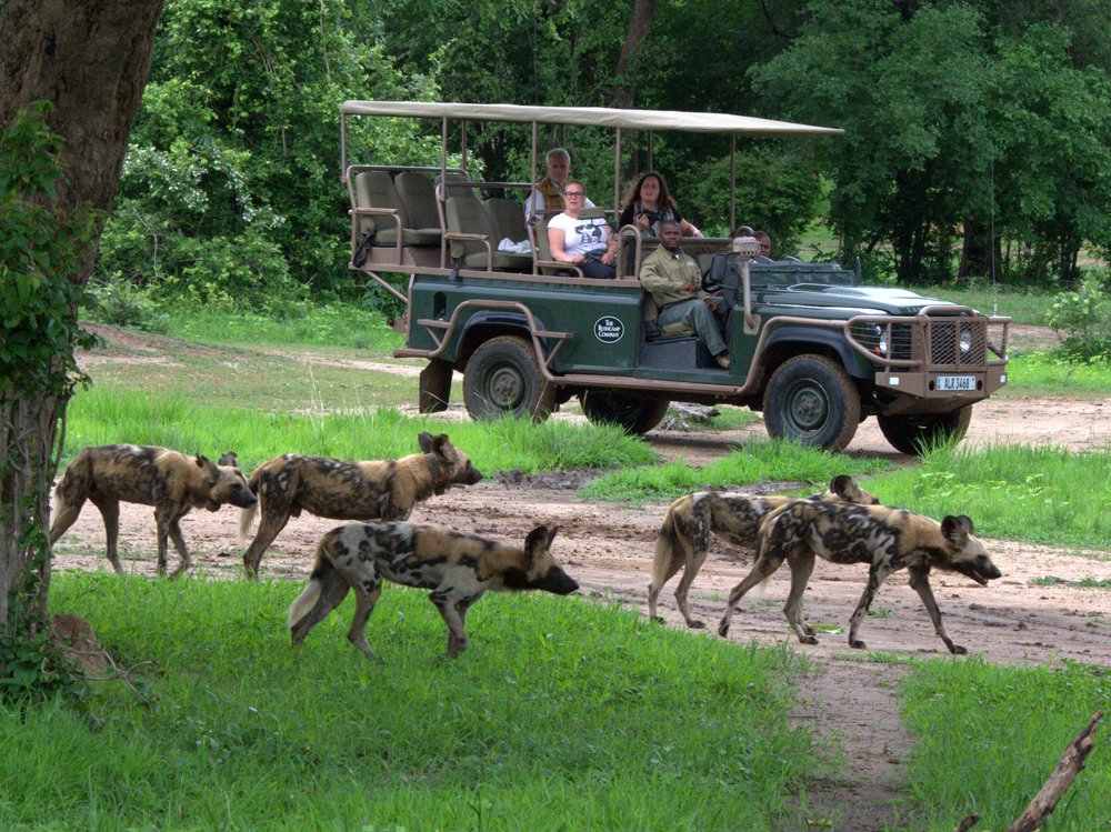 A safari guide shows tourists wild dogs in the Luangwa. Data from guides on carnivore sightings provide key information across all study sites.   Photo by Ian Salisbury
