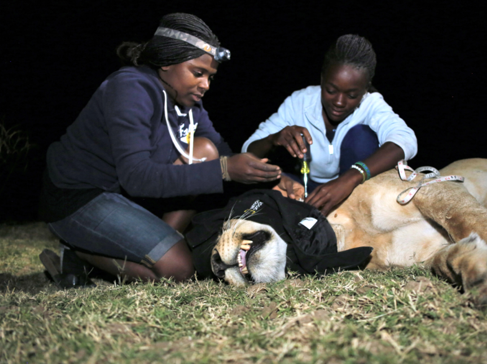 "ZCP Ecologist and Education Manager Thandiwe Mweetwa (L) instructs trainee on lion immobilization and collaring as part of the Women in Wildlife Conservation Programme.""  Photo by Luke Dollar"