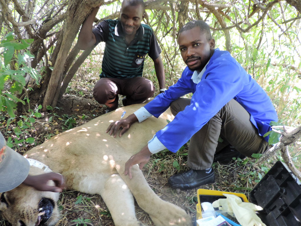 Vet student and trainee Fitzgerald Mukumbi assists CSL/ZCP vet Dr. Mwamba Sichande to de-snare a lion.