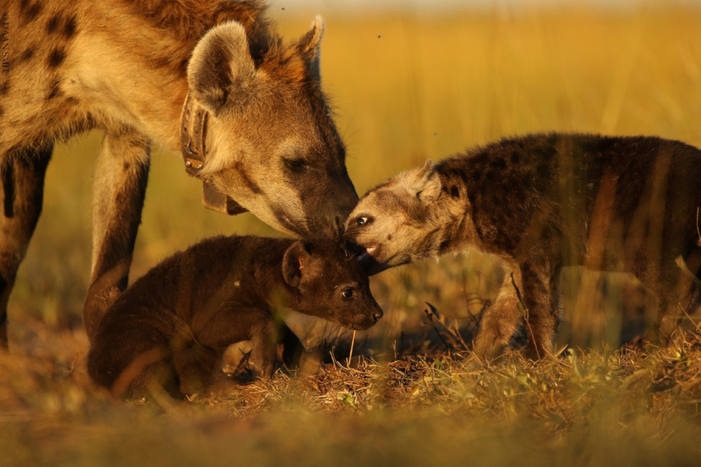 Hyena and Cubs.jpg