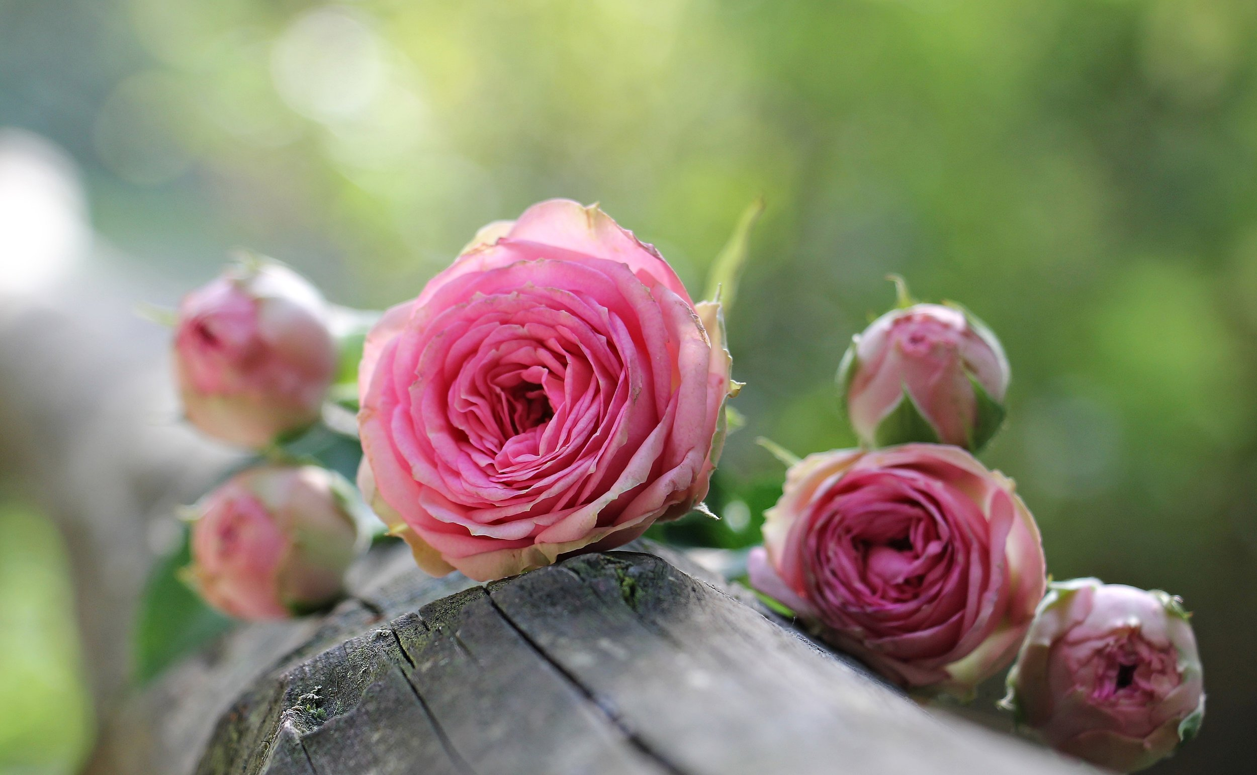 rose-1687884.jpg