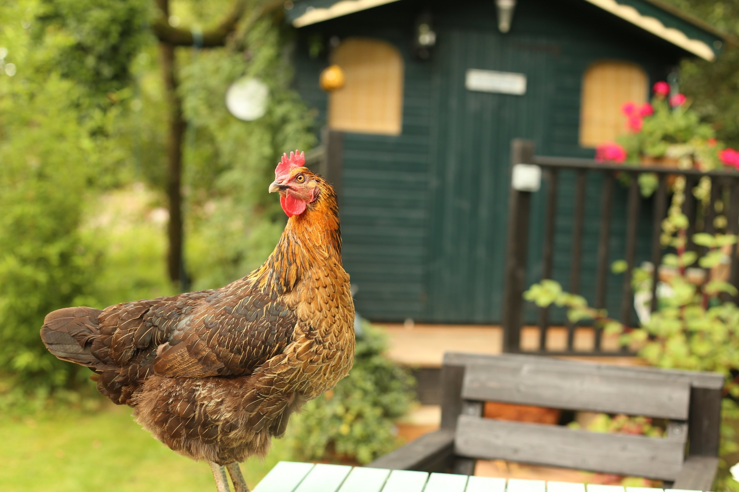 You Have To Read This Family's Obituary For Their Pet Chicken