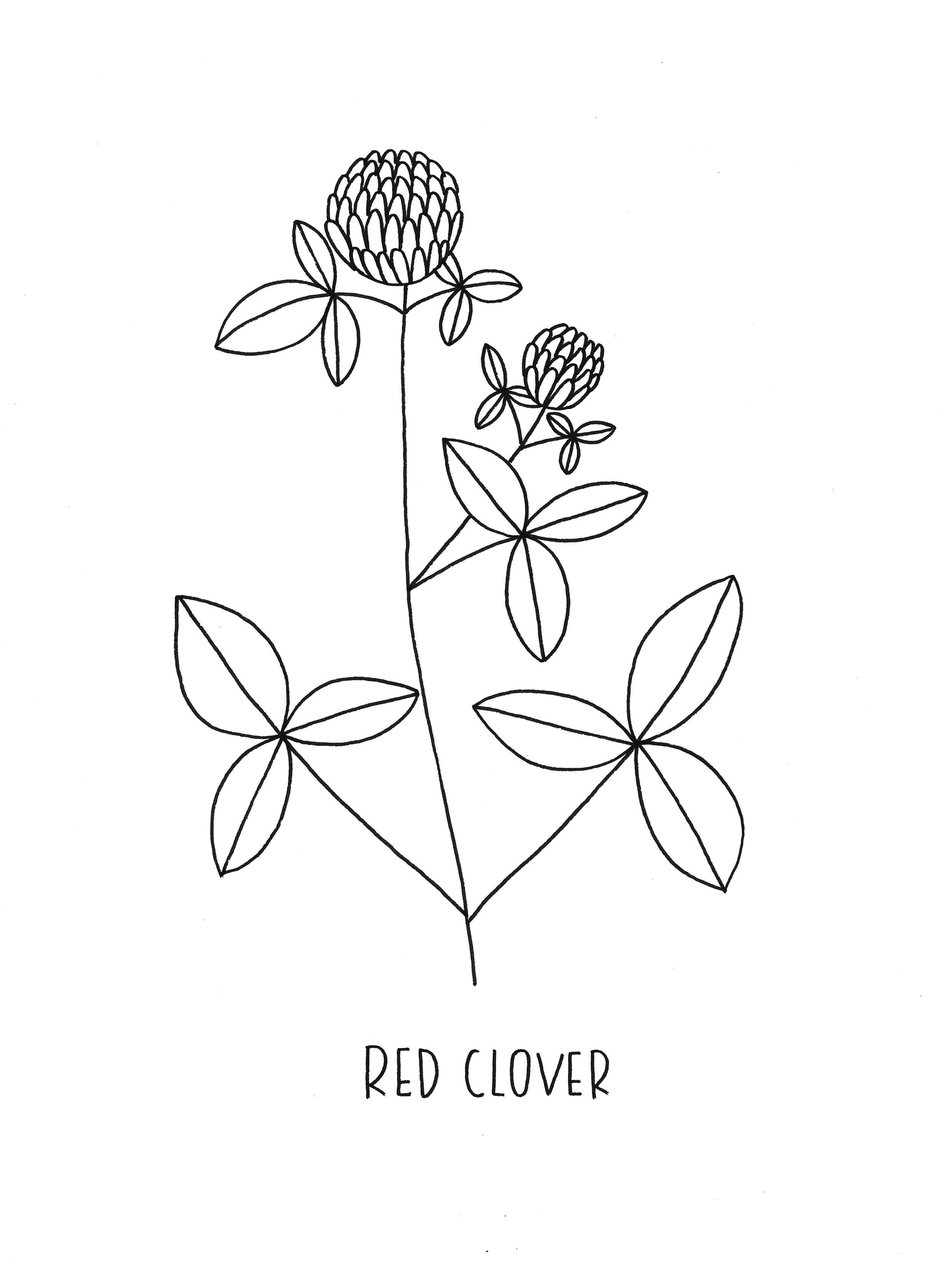 09 Trifolium Pratense.jpg