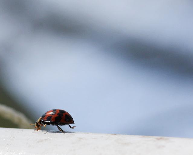 IMG_5888_ladybug1.jpg