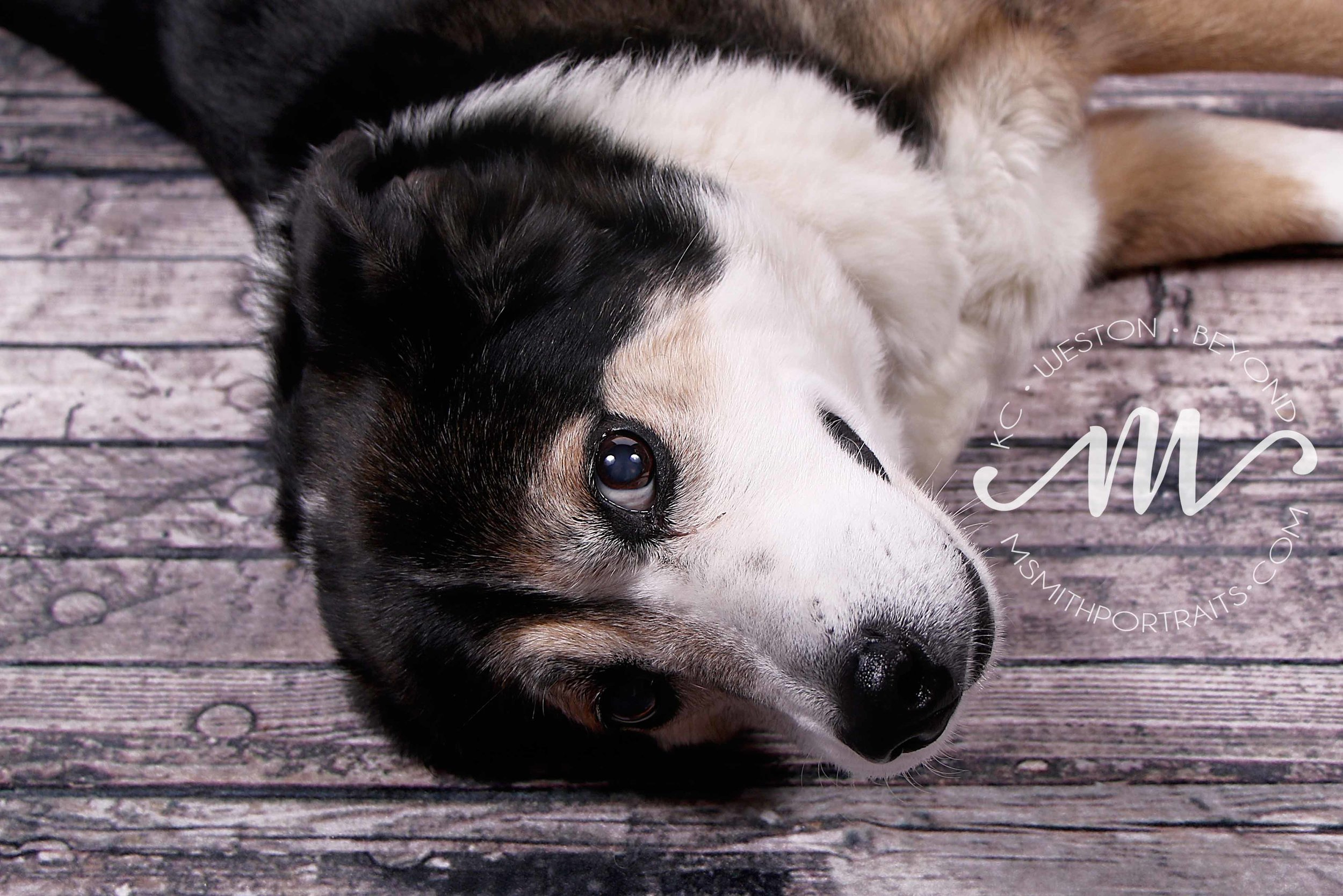 Mixed breed collie picture
