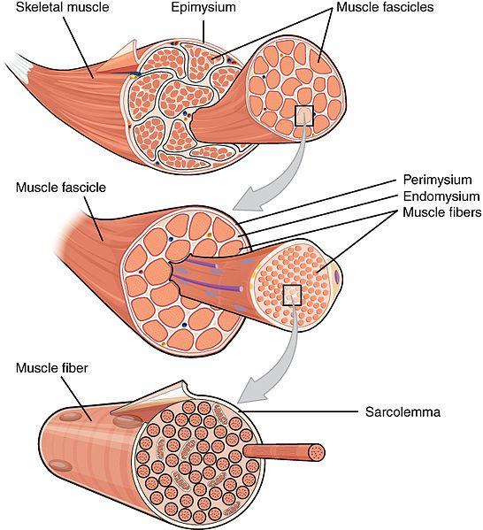 musclefibers.jpg