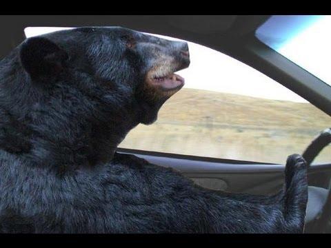 bear driving.jpg
