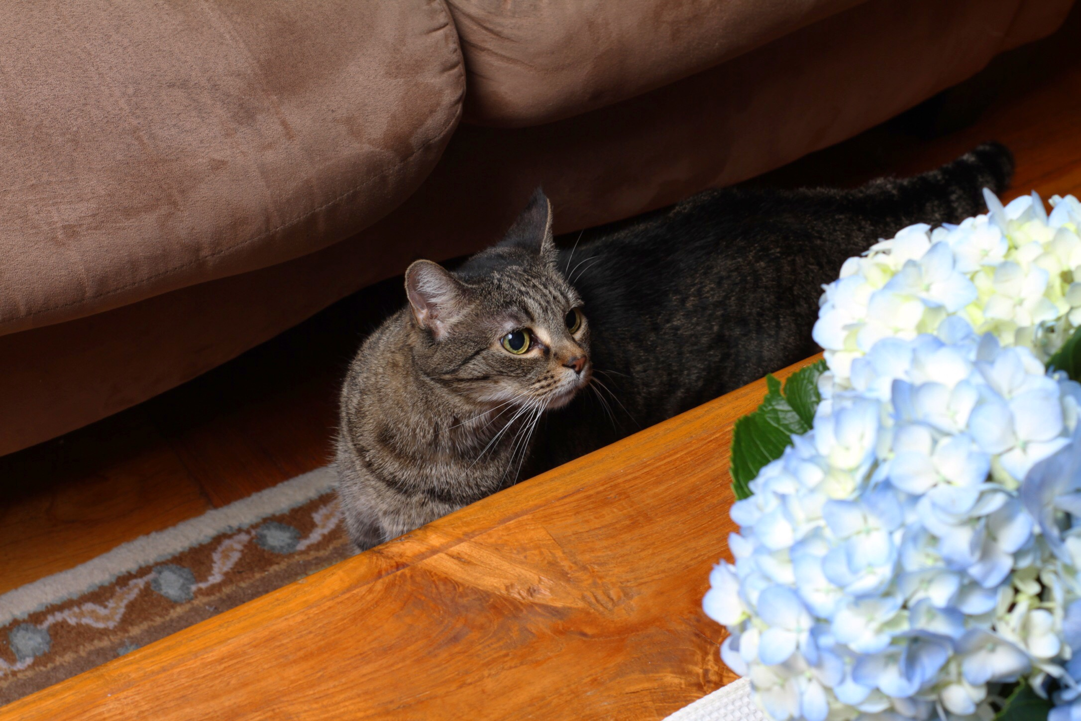 Athens enjoying life, trying to smell, or steal, the hydrangea on our coffee table!