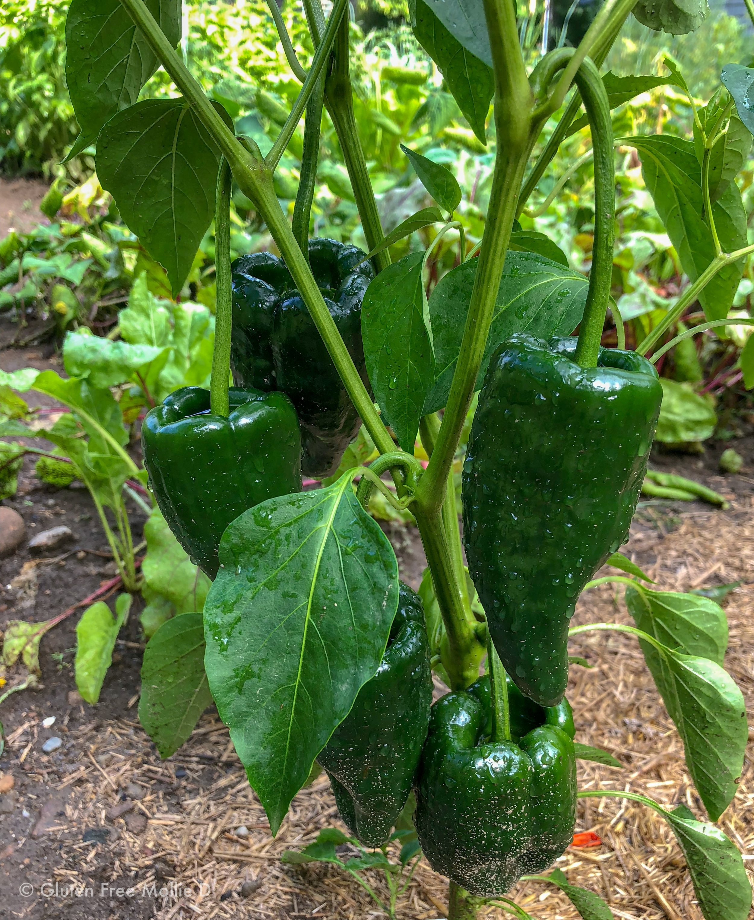 Poblano peppers!