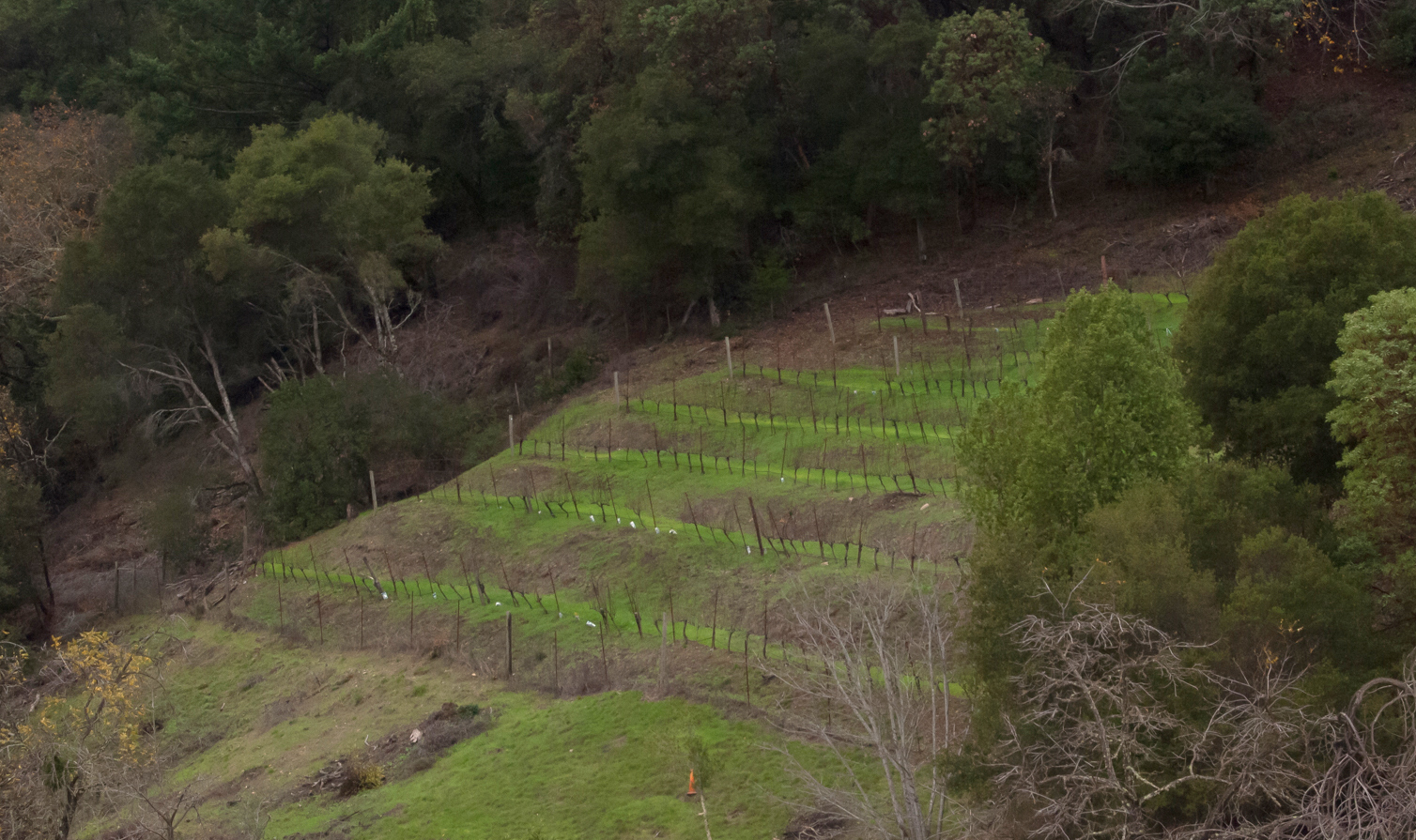 Newer vines up on the hill