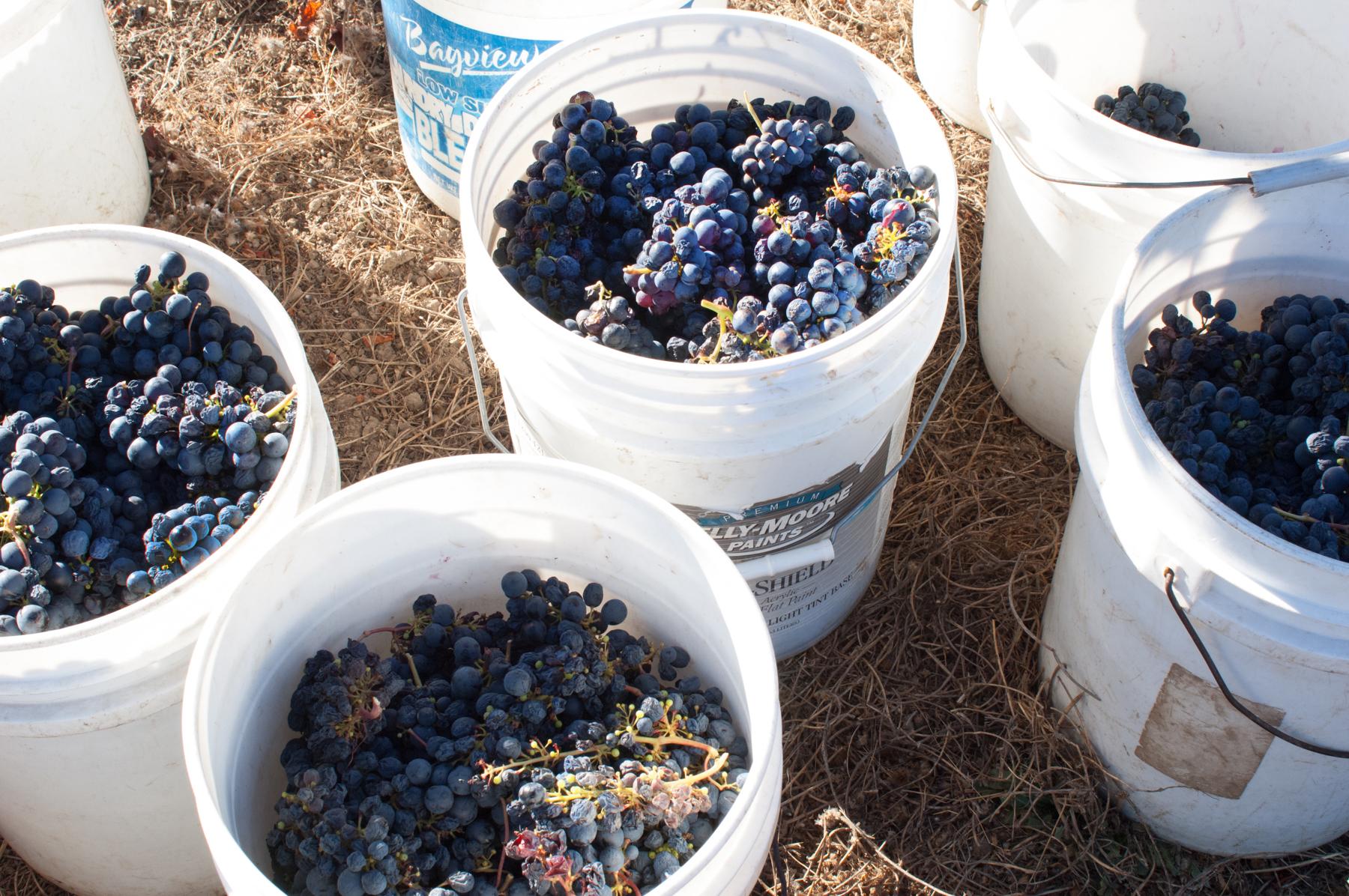 Sav Chan blue cherries plucking