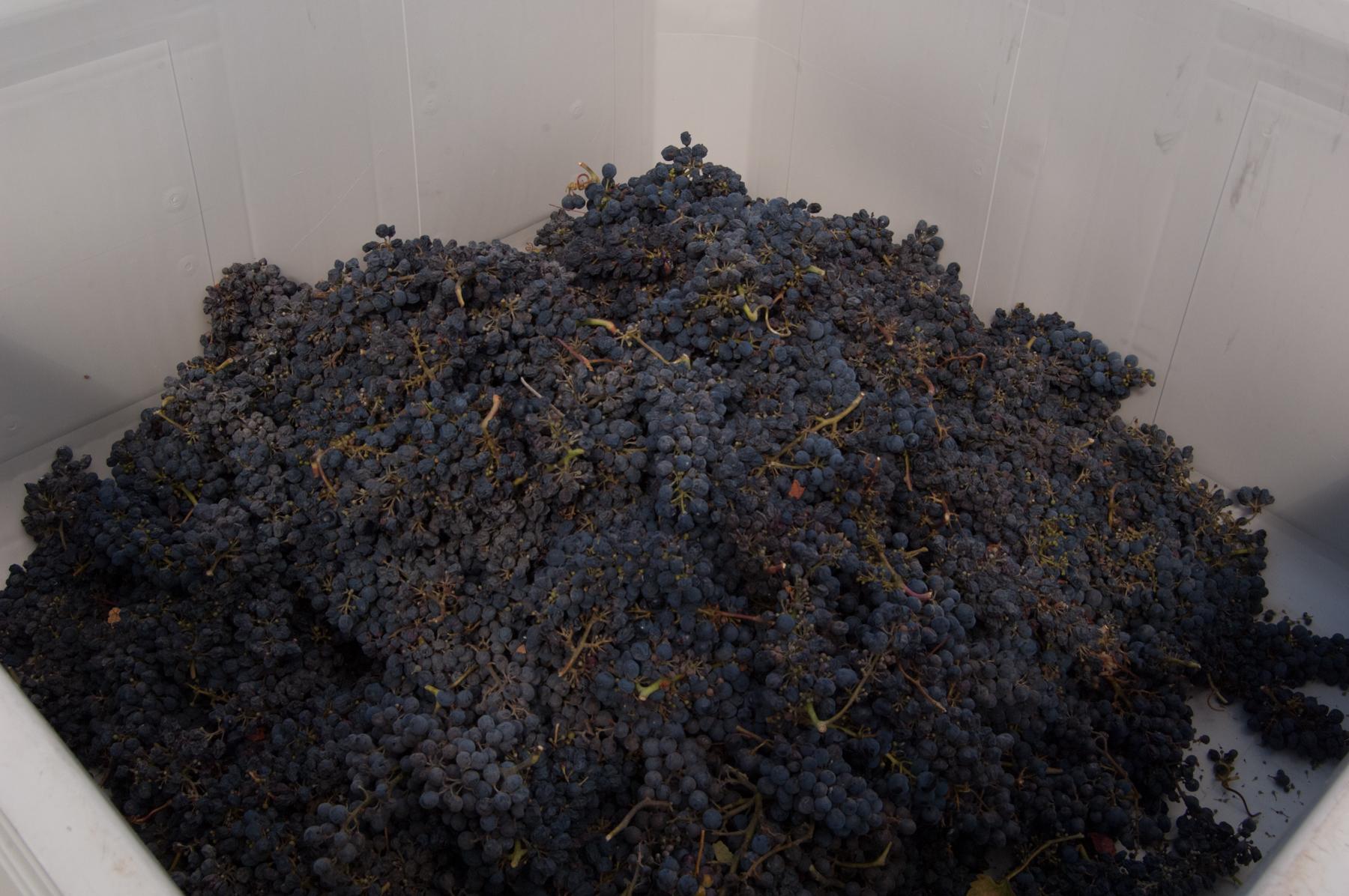 Sav Chan berries in bulk