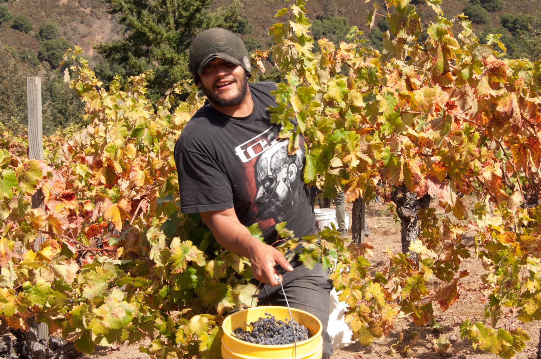 Sav Chan vine grapes