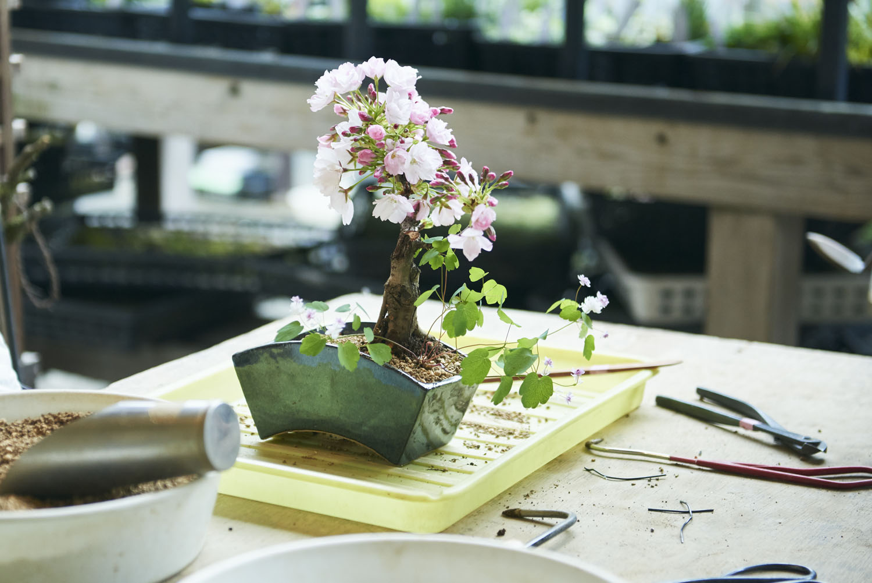 tokyo_bonsai_cherry_blossom_sakura_138.jpg