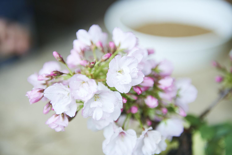 tokyo_bonsai_cherry_blossom_sakura_179.jpg