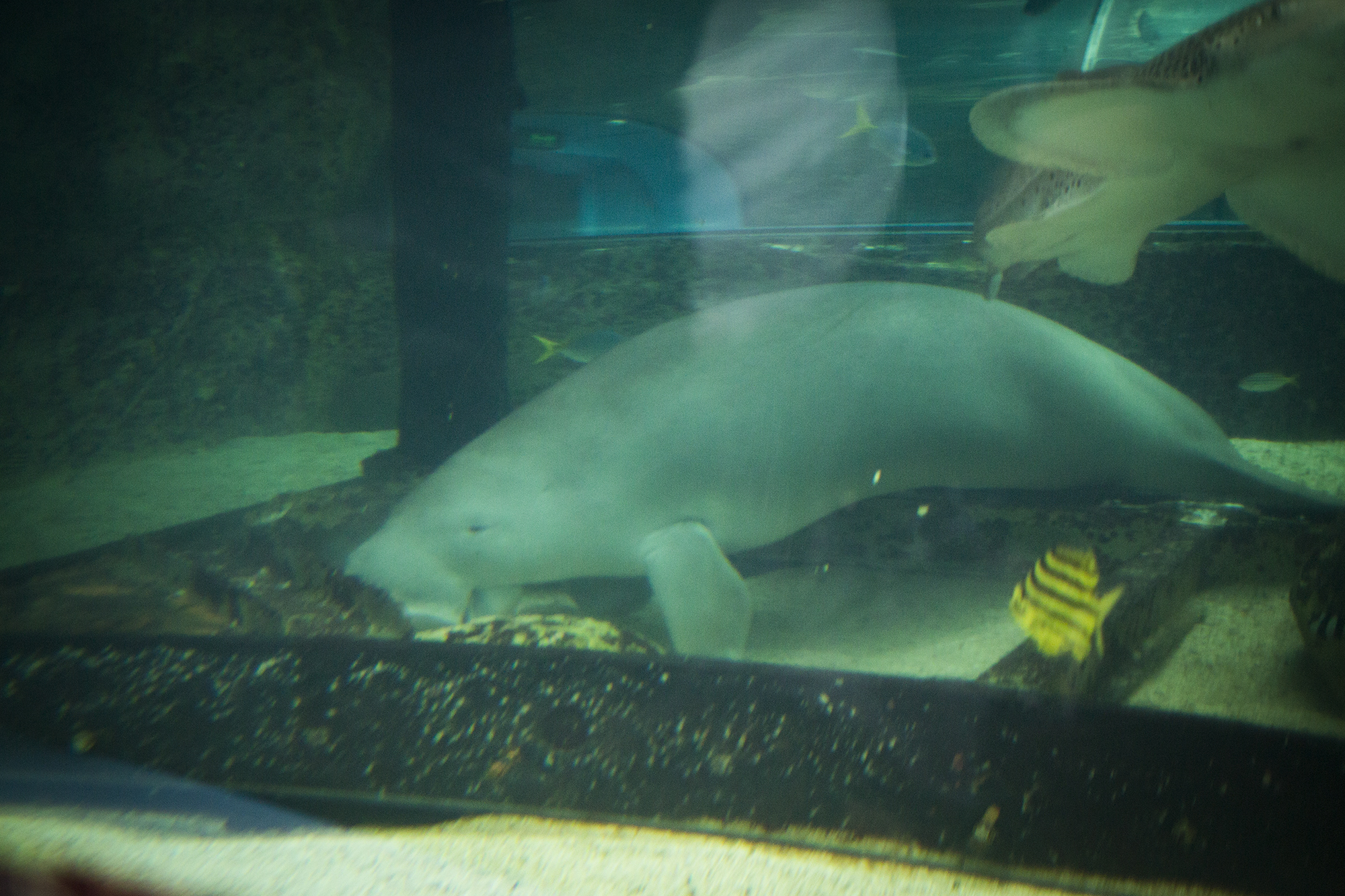 This adorable dugong's name is Pig